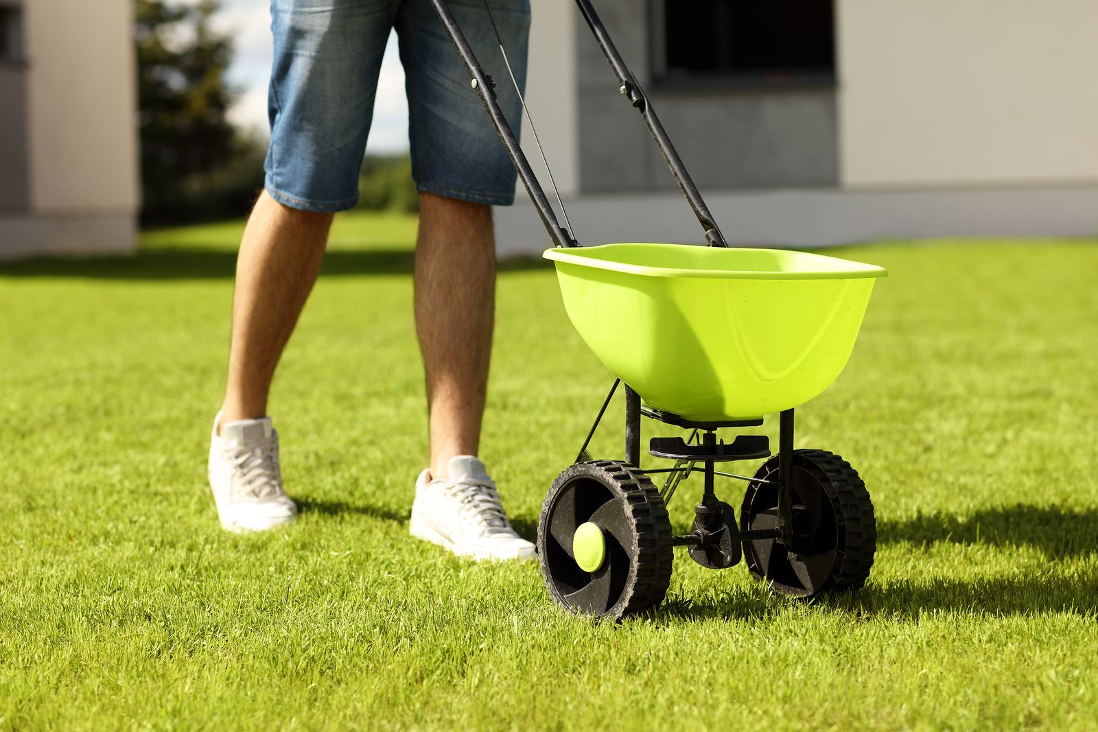 Photo of man's legs and a green fertilizer spreader as the man fertilizes a well-kempt lawn
