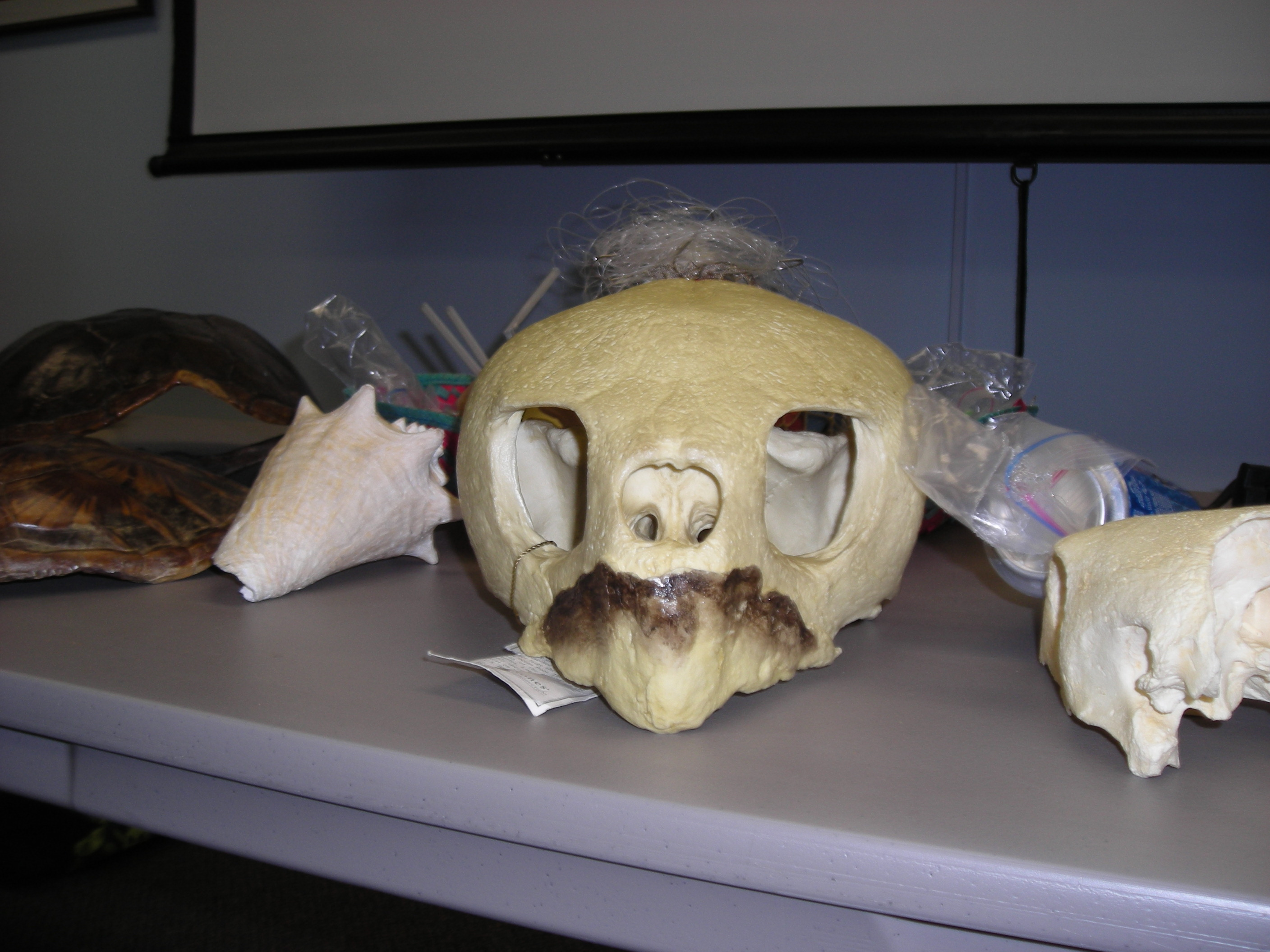 A skull of an animal on display